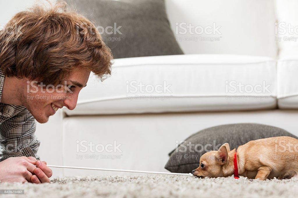Cute little chihuahua playing tug of war stock photo