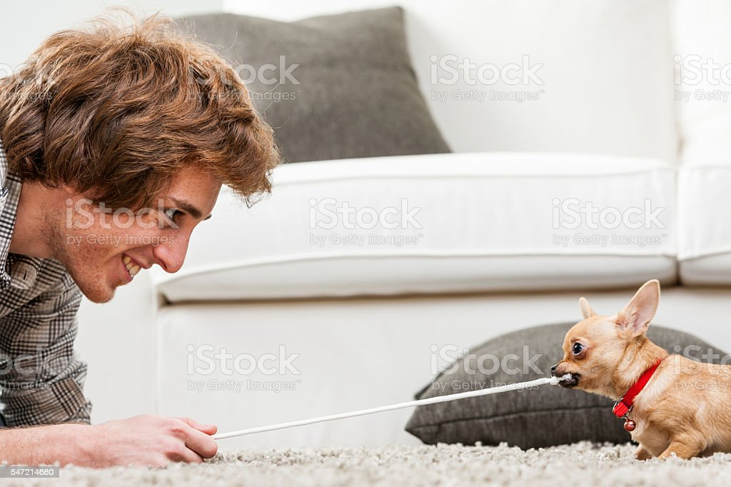 Cute little chihuahua testing its strength stock photo