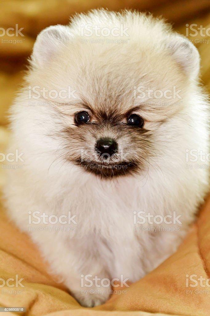 Cute little cream pomeranian stock photo
