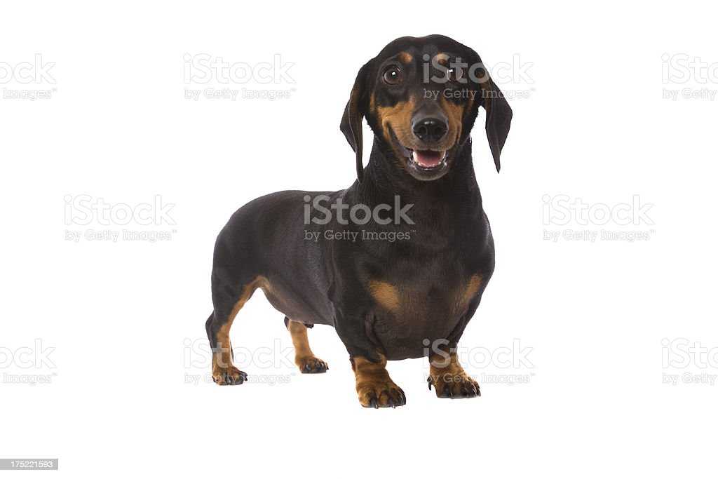 Cute Little Dachshund stock photo