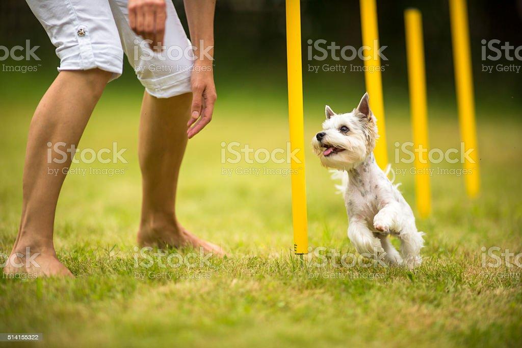 Cute little dog doing agility drill stock photo