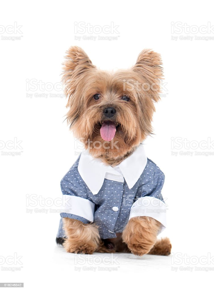 Cute little dog dressed in clothes stock photo