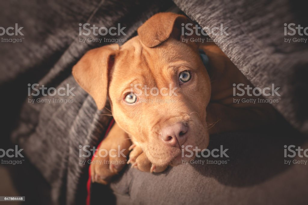 A cute little dog looking from man's bosom stock photo