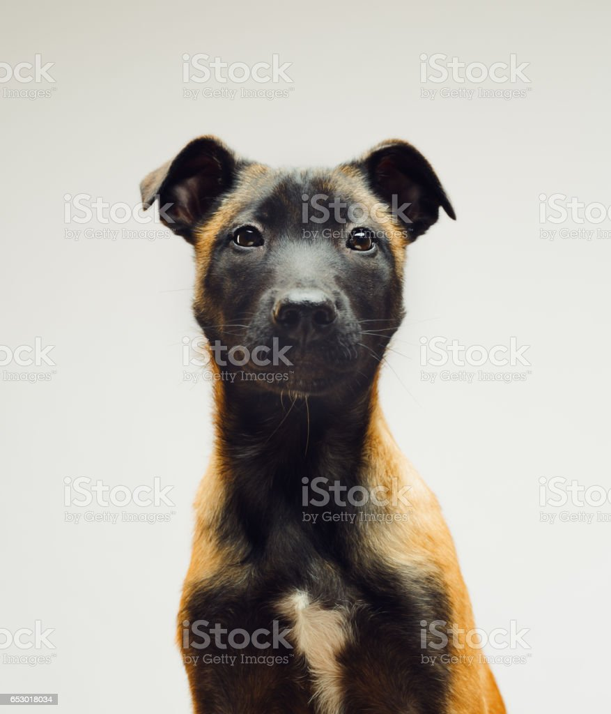 Cute little dog sitting against gray background stock photo