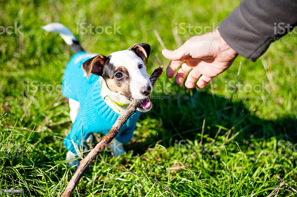 Cute little dog with pleasure gnawing wooden stick in grass stock photo