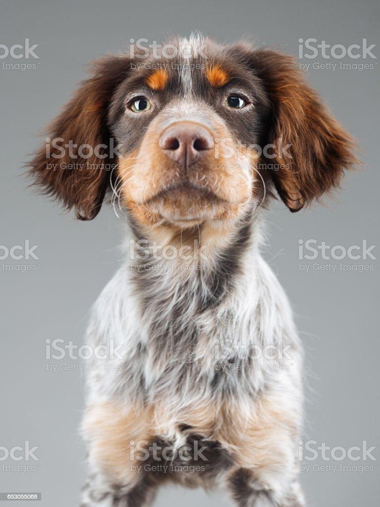 Cute little Epagneul Breton dog portrait stock photo
