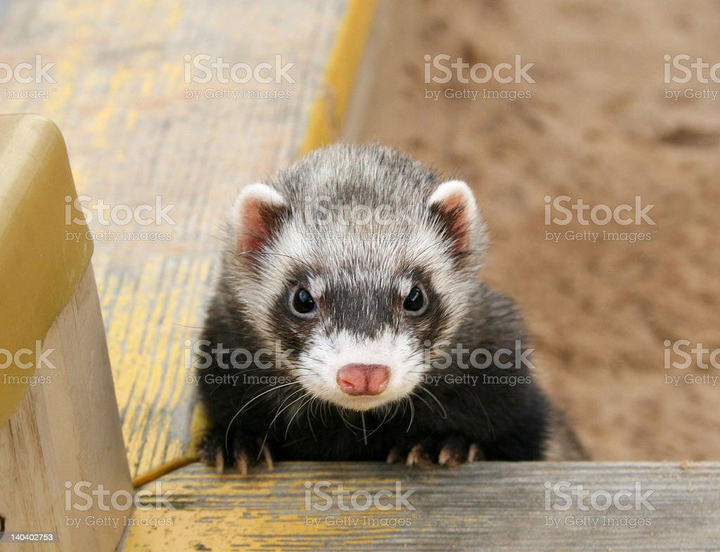 Cute little ferret leaning over a wood rail stock photo