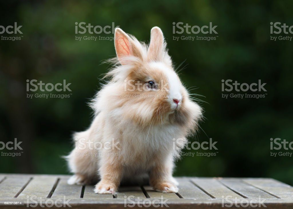 Cute little funny lionhead red rabbit in the gardren. stock photo