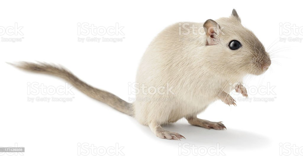 Cute little gerbil stock photo