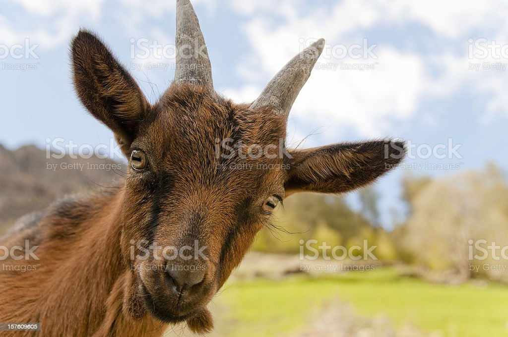Cute little goat stock photo