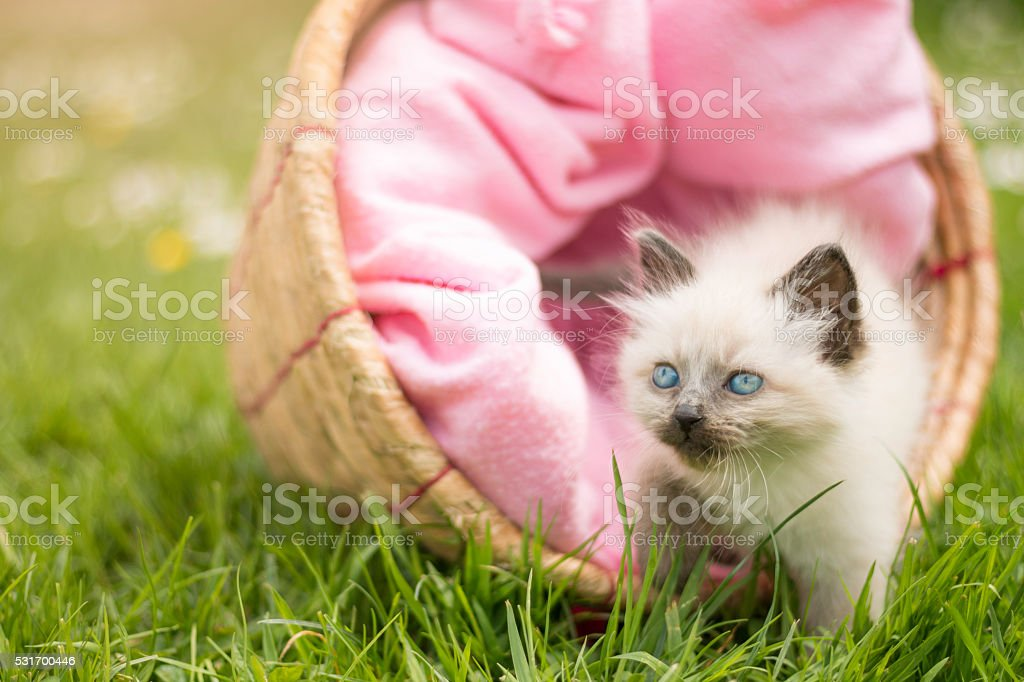 Cute little kitten sitting in a basket stock photo