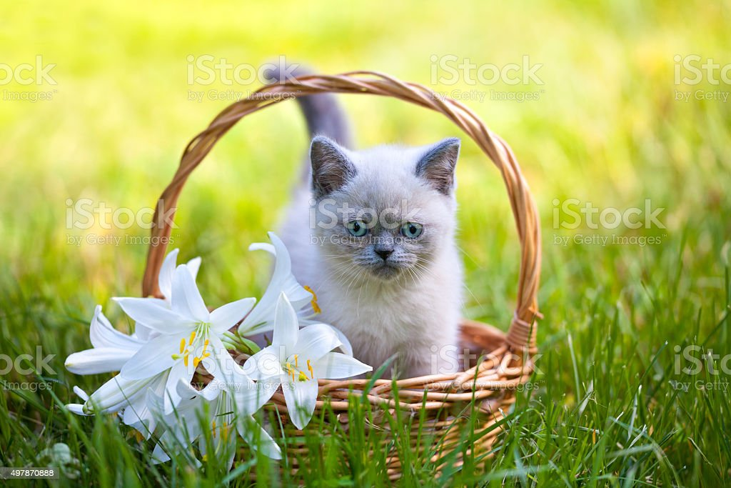 Cute little kitten sitting in a basket with lily flowers stock photo