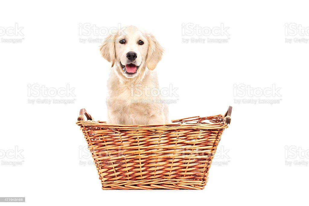 Cute little Labrador puppy sitting in a basket stock photo