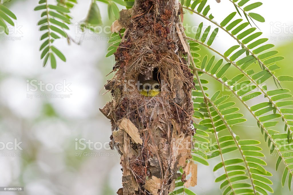Cute little olive-backed yellow-bellied sunbird baby in nest stock photo