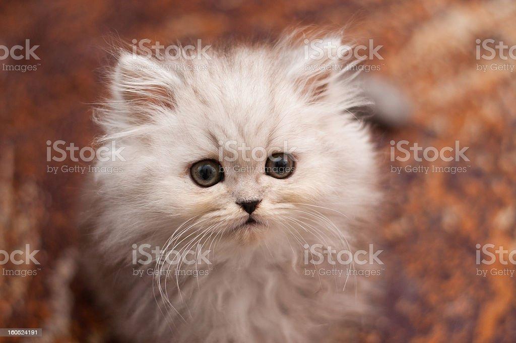 Cute little Persian kitten stock photo