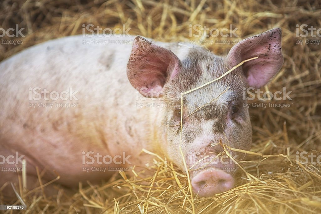 Cute little  Pig royalty-free stock photo
