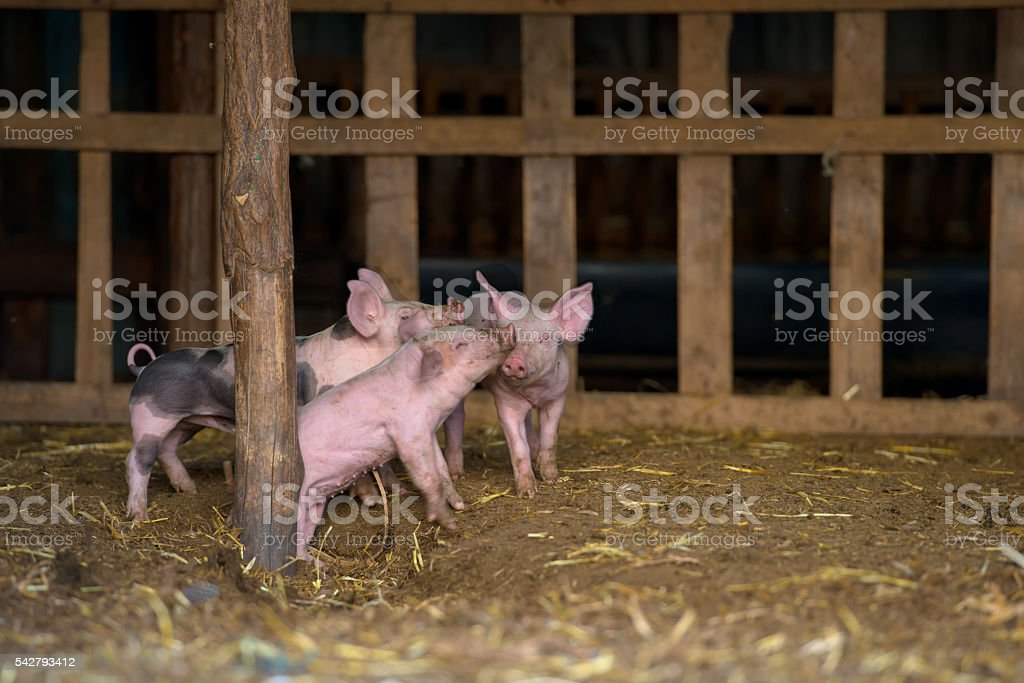 cute little piglets at farm stock photo