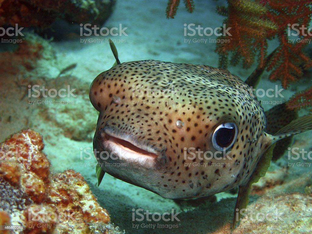 A cute little puffer fish saying hello  stock photo