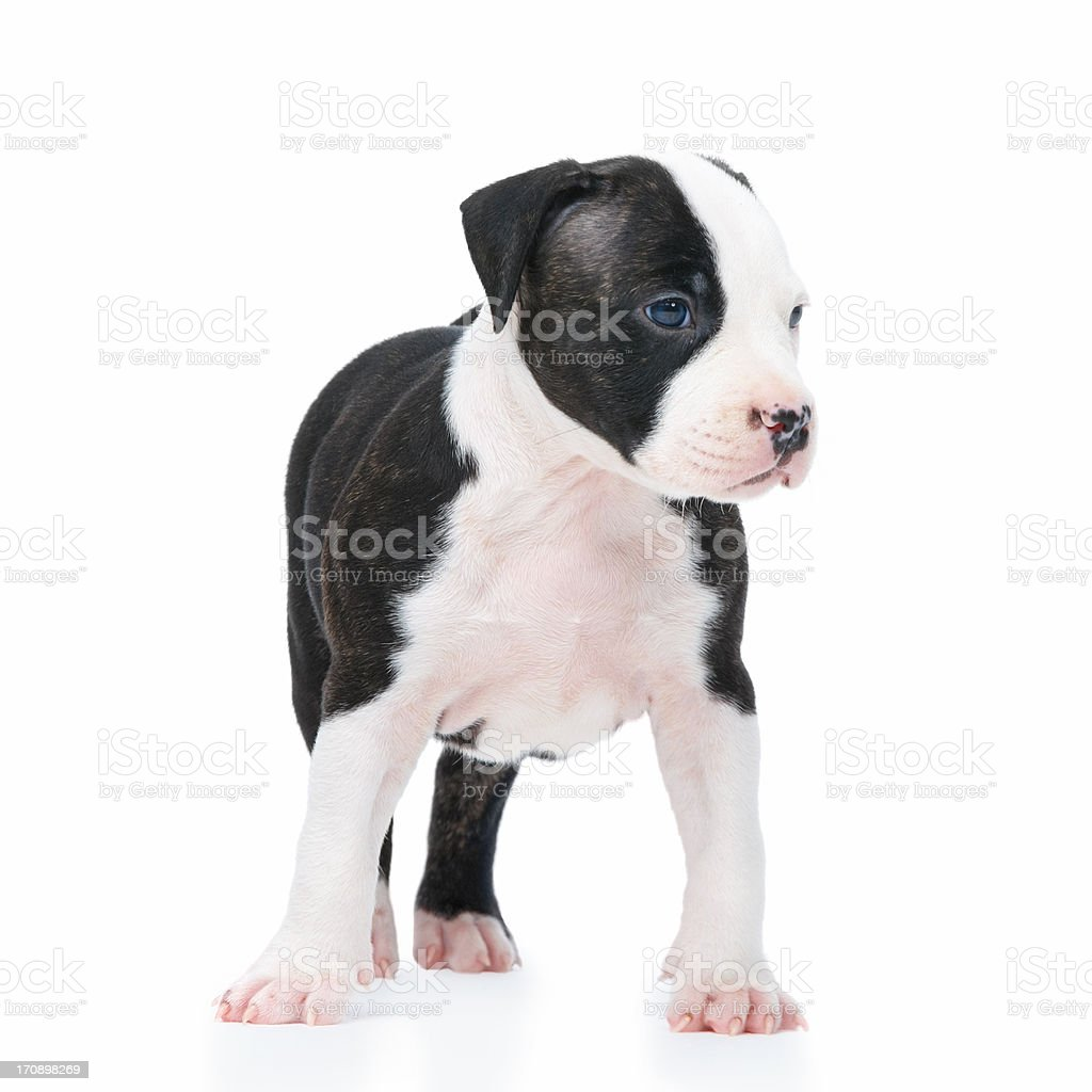 Cute little puppy dog isolated on white royalty-free stock photo