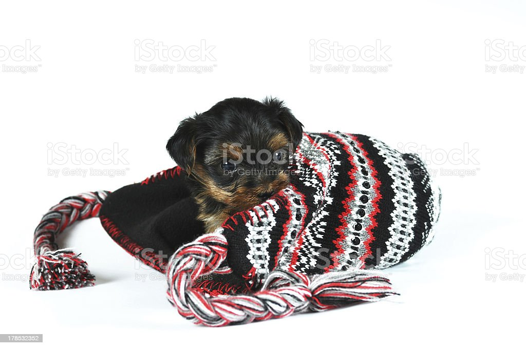 Cute little puppy inside cap isolated on white royalty-free stock photo
