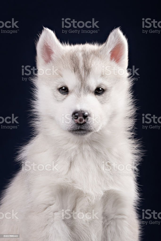 Cute little puppy of syberian husky stock photo