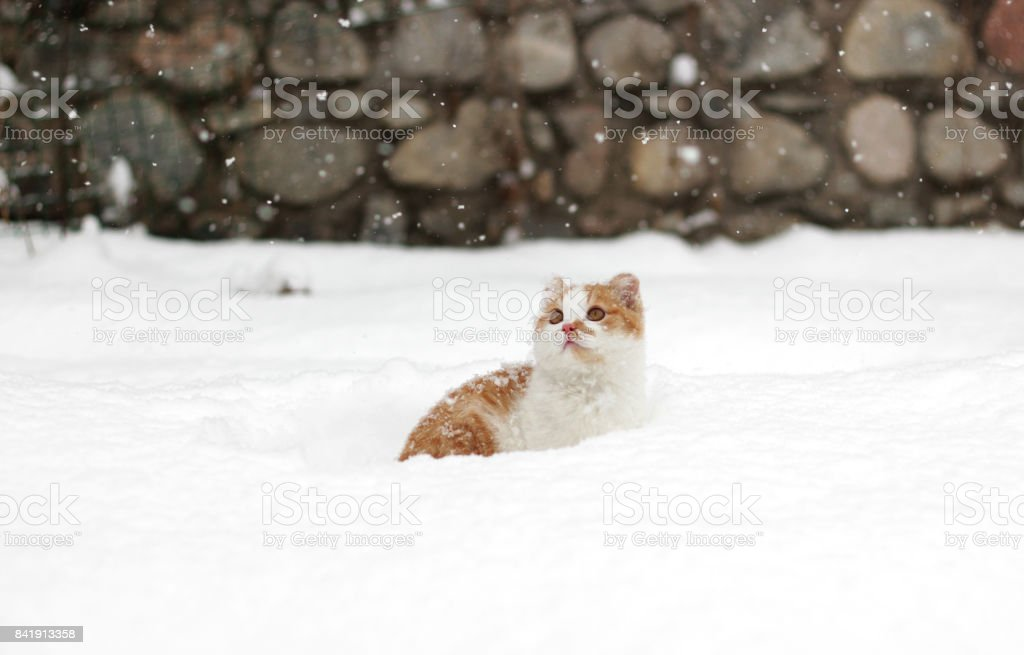 Cute little read white cat in snow looking at snowflakes. stock photo
