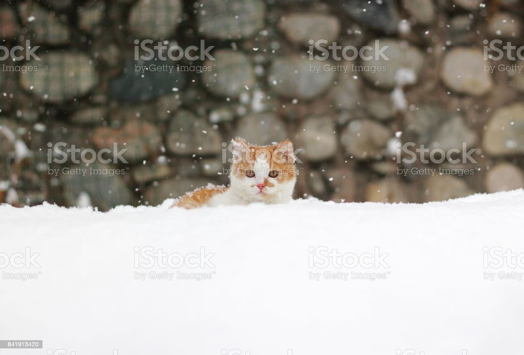 Cute little read white cat sitting in the snow on a snowy day. stock photo