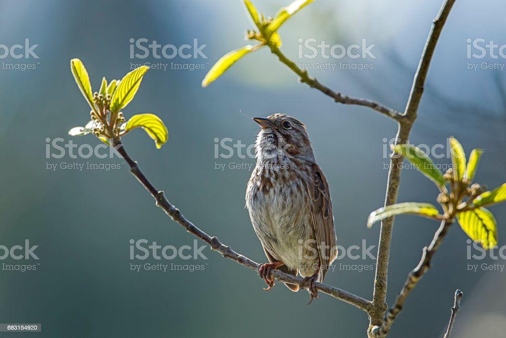Cute little song sparrow. stock photo