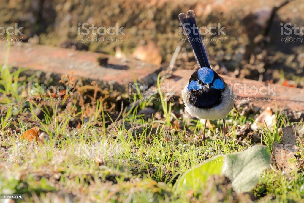 Cute little Superb Fairy Wren, Blue wren male bird with distinctive blue crown, ear coverts, upper back stock photo