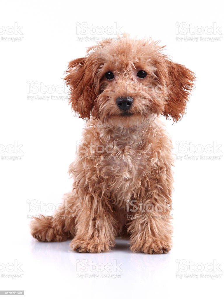Cute Little Teddy Bear Puppy Studio Shot royalty-free stock photo