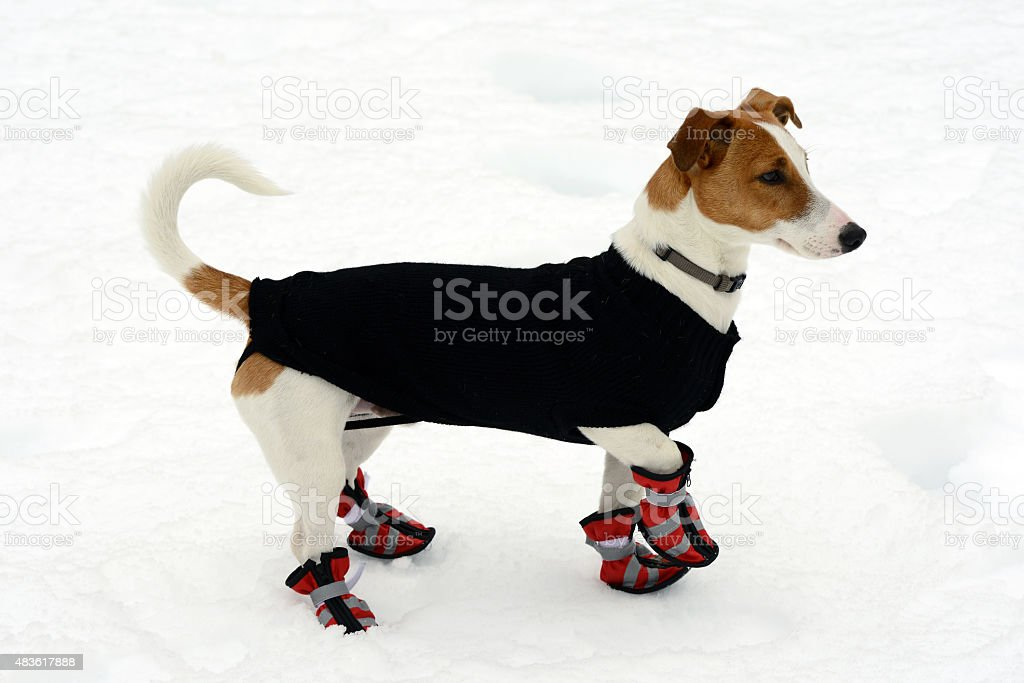 Cute little terrier wearing snow shoes stock photo