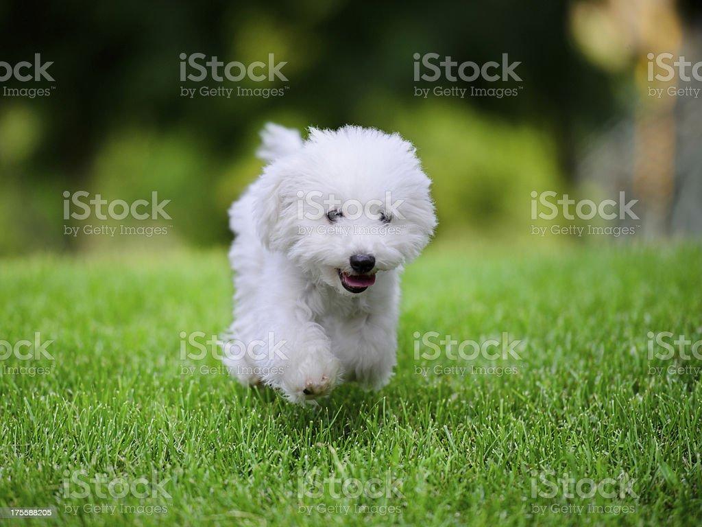 Cute Little White Dog Free Running - XXXXXLarge royalty-free stock photo