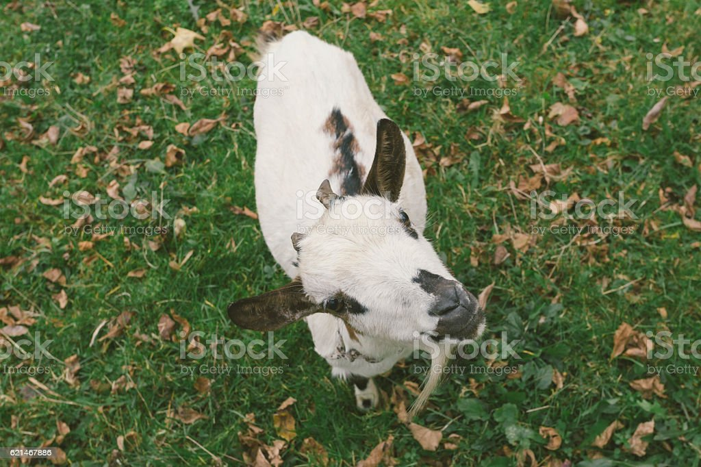 Cute little white goatling looking up at camera stock photo