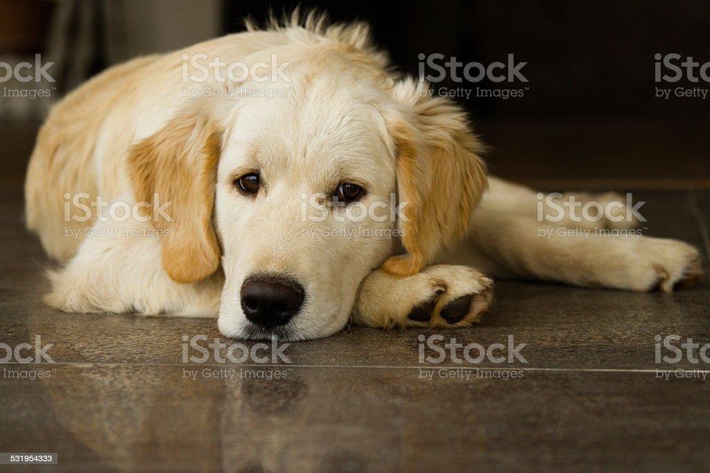 Solitario carino Cucciolo di golden retriever sdraiato/a terra foto stock royalty-free