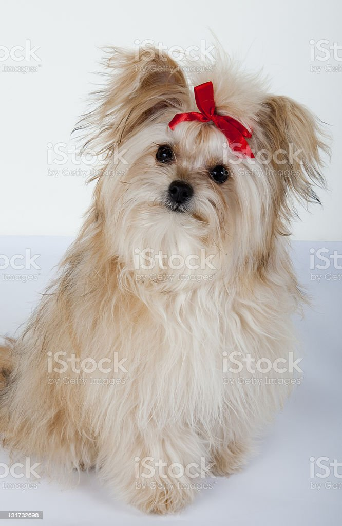 Cute long haired puppy royalty-free stock photo