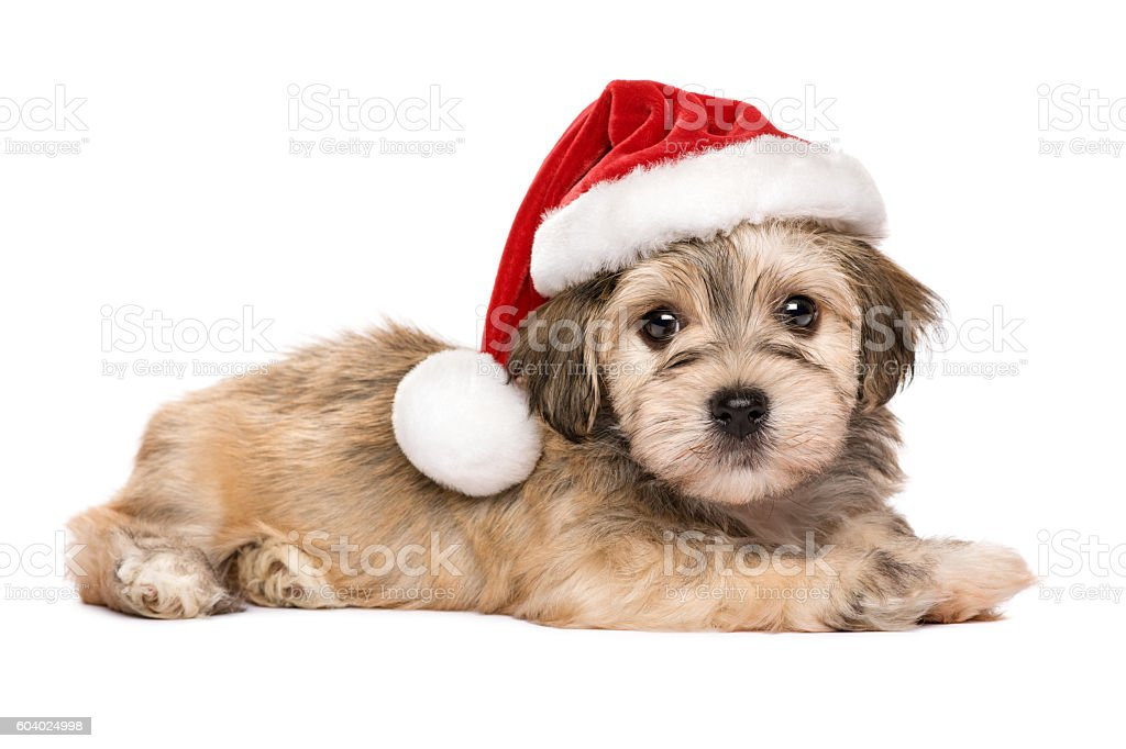 Cute lying Christmas Havanese puppy dog stock photo