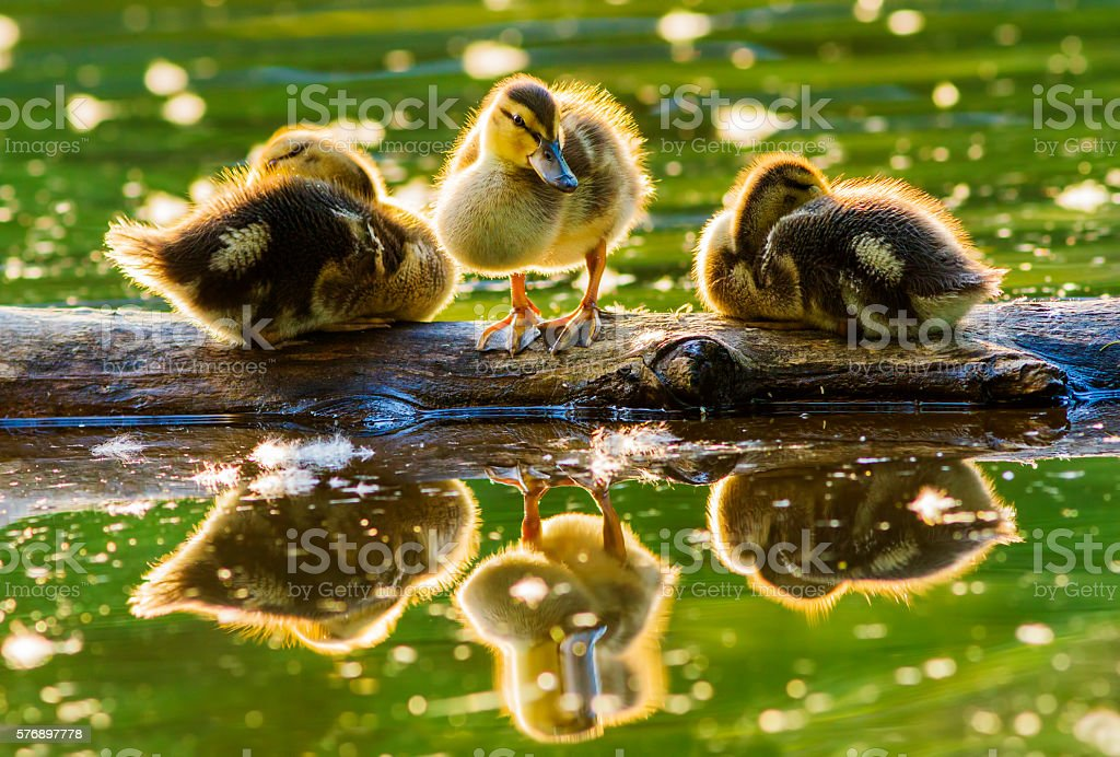 Cute Mallard babies stock photo