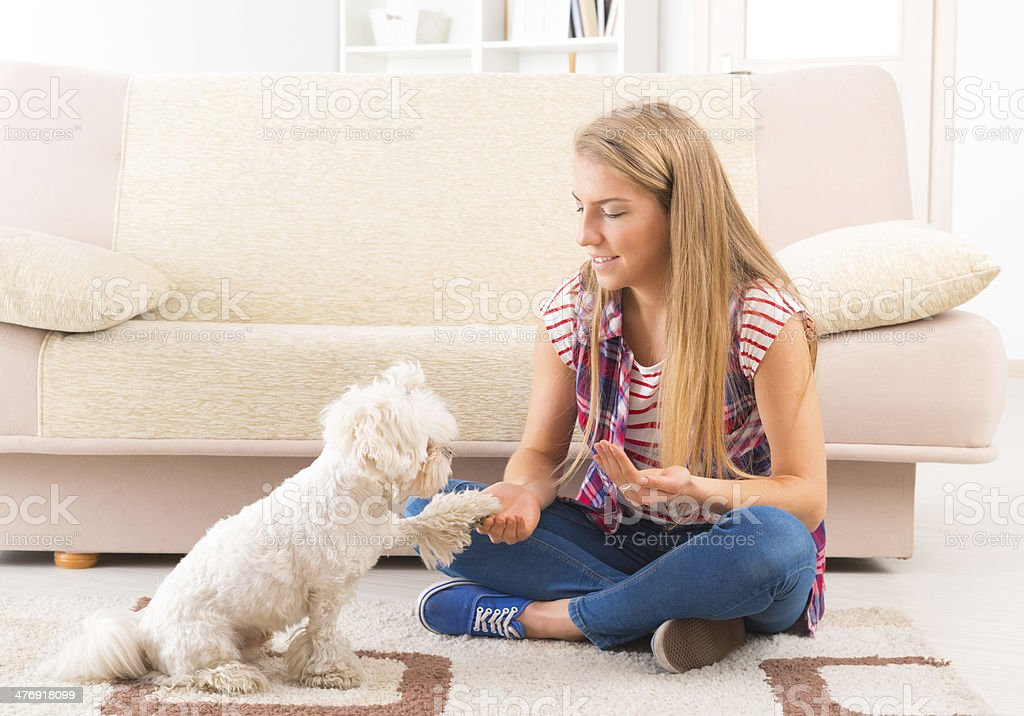 Cute Maltese dog giving a paw stock photo