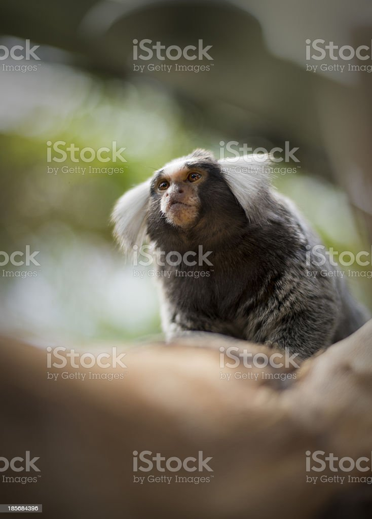 Cute Marmoset on a tree branch royalty-free stock photo