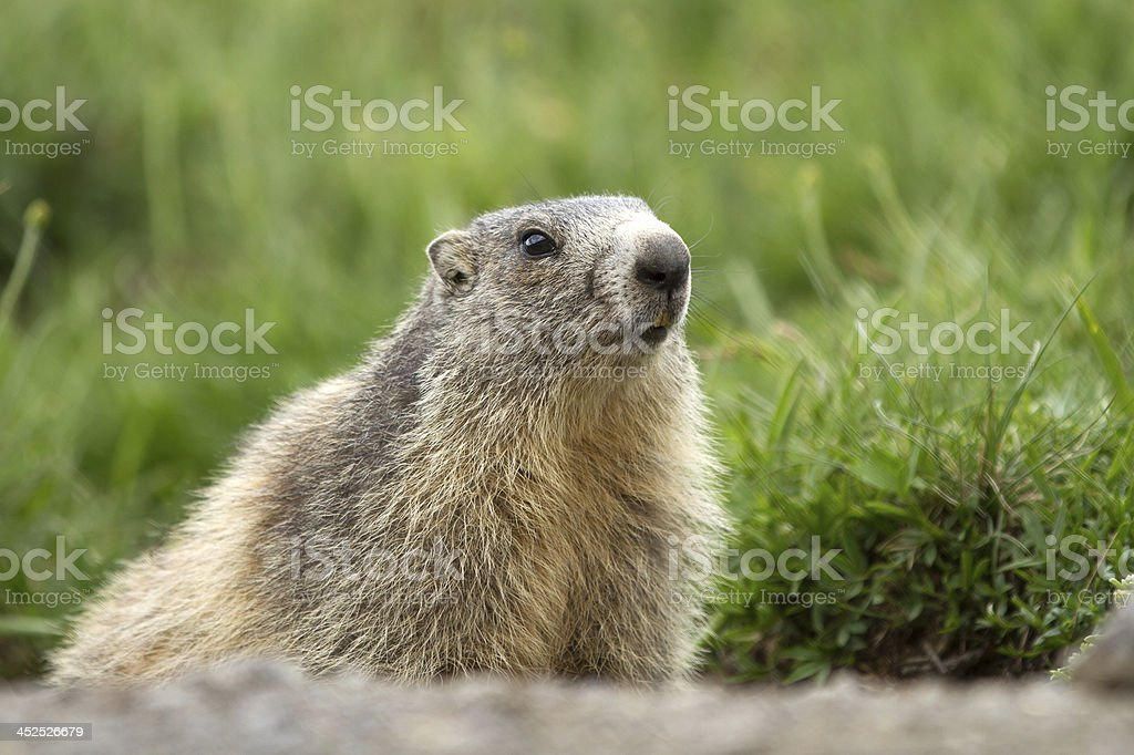 Cute marmot in the alps stock photo