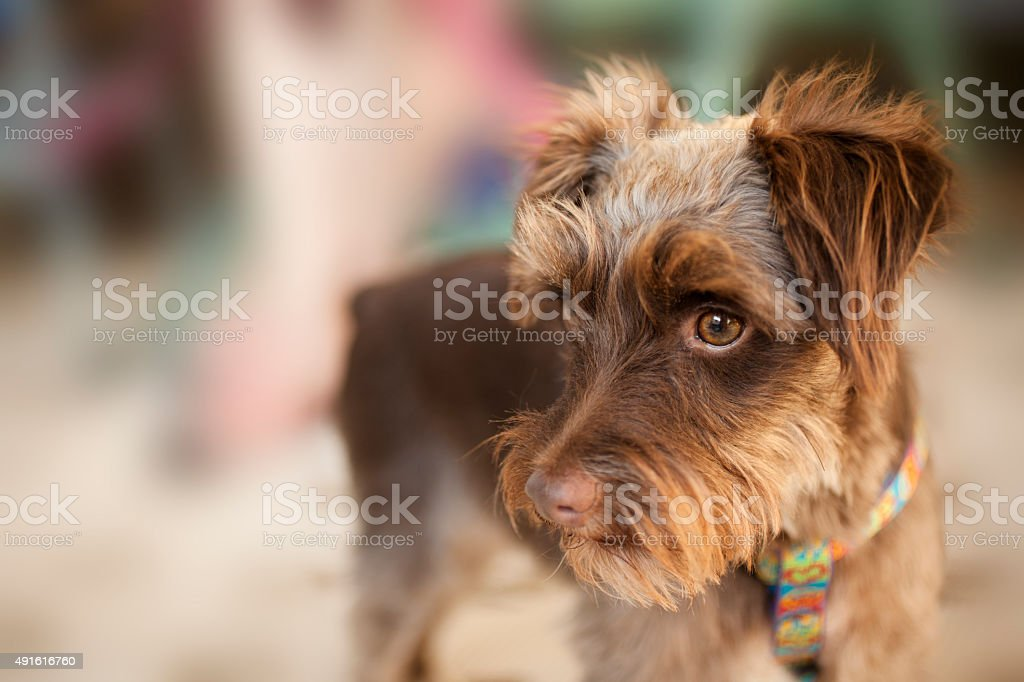 Cute Miniature Schnauzer pet dog with collar, leash. stock photo