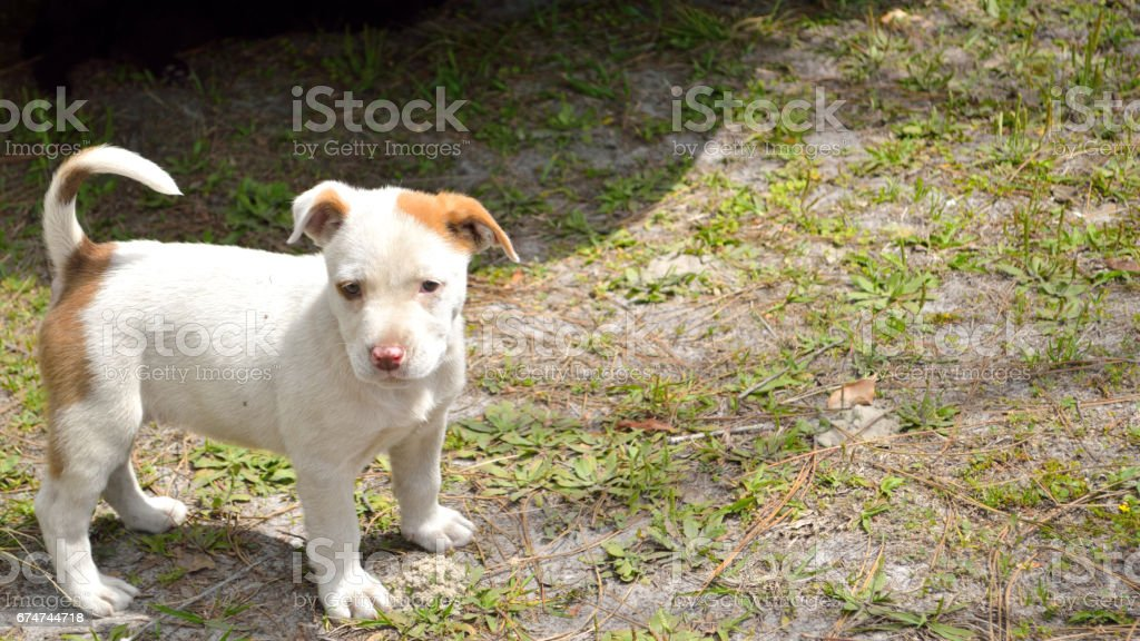 Cute mixed breed pit bull puppy stock photo