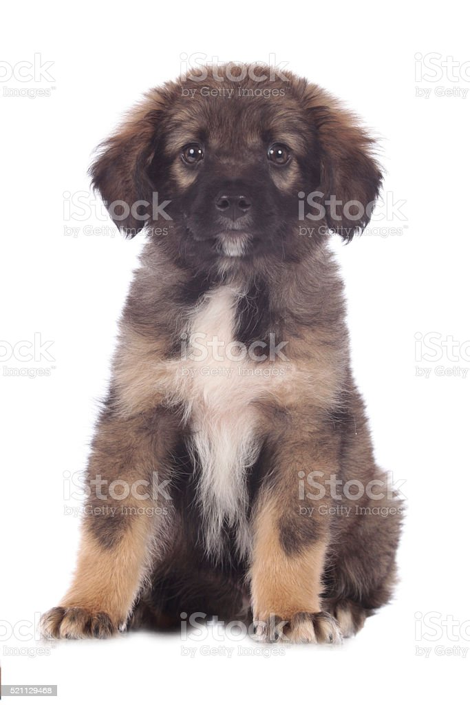 Cute mixed breed puppy sits stock photo