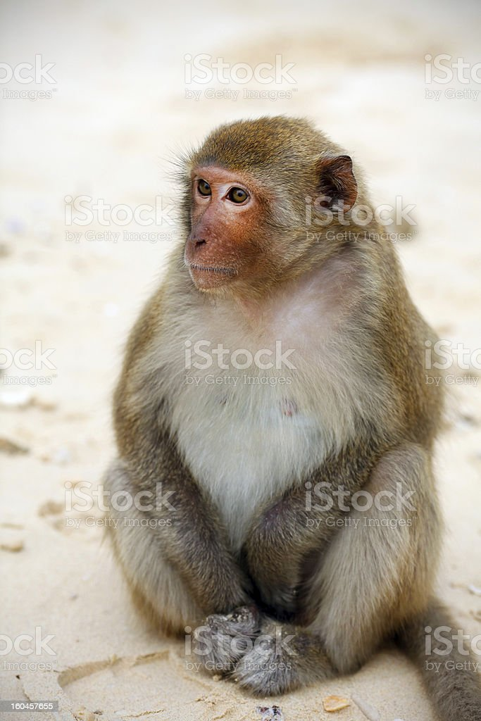 Cute monkey on the beach, full body, close-up royalty-free stock photo