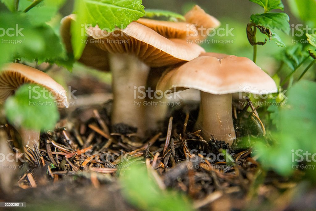 Cute mushrooms stay among green leaves after rain stock photo