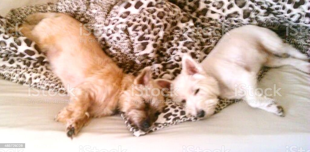 cute naught pair dogs sleeping  bed in duvet stock photo