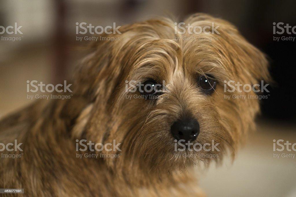 Cute norfolk terrier purebred dog's portrait stock photo
