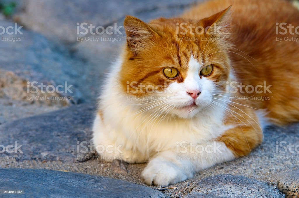 Cute orange cat royalty-free stock photo