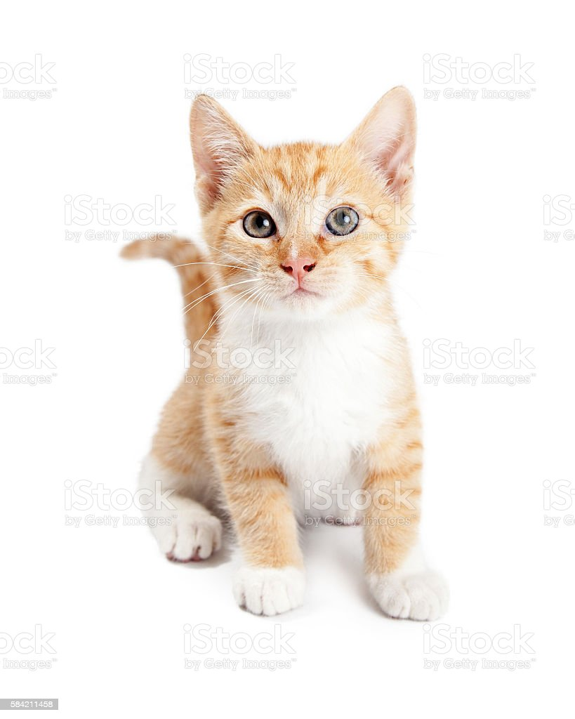 Cute Orange Tabby Kitten Isolated on White stock photo