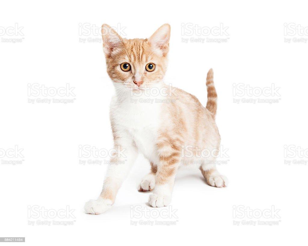 Cute Orange Tabby Kitten stock photo